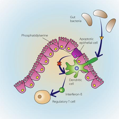 ベクトル医療イラスト、免疫系の調節で死にかけている上皮細胞のプロセス  イラスト・ベクター素材