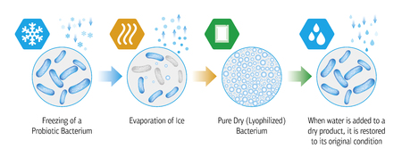 Medical illustration of the lyophilization process of probiotic bacteria. Vectores
