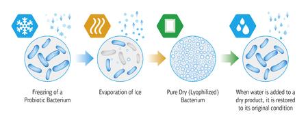 Medical illustration of the lyophilization process of probiotic bacteria. Illustration