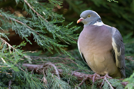 Ring-necked wild dove sitting on a branch of thuja. Close up view Zdjęcie Seryjne