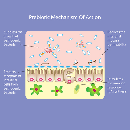 Prebiotic or probiotic mechanism of action. Medical vector illustration Vettoriali