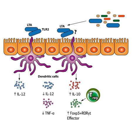 Estimulación de las células T reguladoras vector ilustración médica