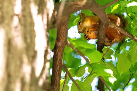 Thrifty red squirrel sits on a branch and gnaws a walnut in a green park