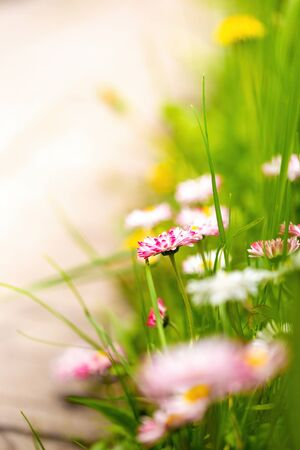 Bright greeting card with white and pink garden flowers and green juicy grass. Springtime colorful blurred background Фото со стока