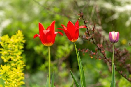Two red tulips among green grass in the garden at a spring day.