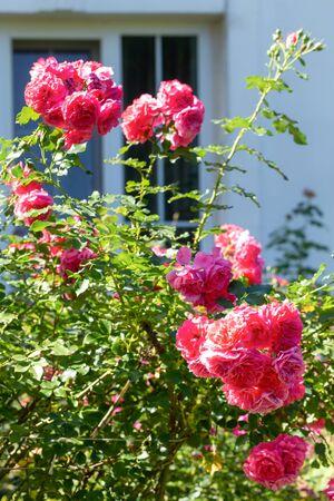 Garden rose bush on the background of a village house window