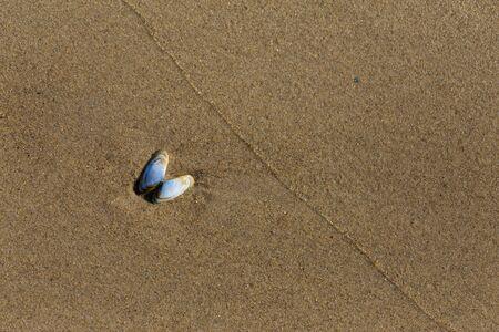 Small light blue butterfly shaped seashell on the wet sand Фото со стока
