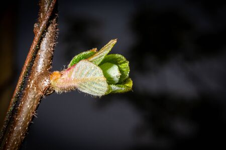 Young green leaf opens from buds on a tree branch. Close-up macro view
