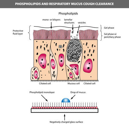 Medical vector illustration of phospholipids and respiratory mucus cough clearance. Ciliated and mucous cell structure.