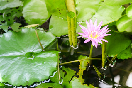 beautiful waterlily lotus flower is complimented by the rich colors of the deep water