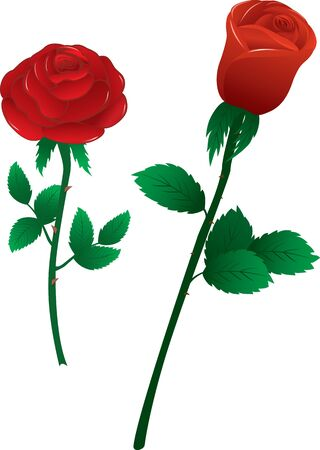 single red rose: Vector illustration two red roses on white background