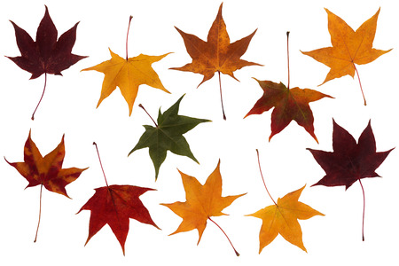 Maple leaves of various colors set isolated on white background photo