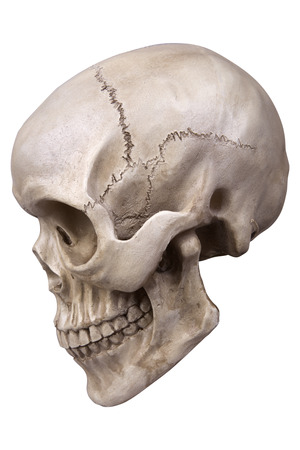 cranium: Human skull (cranium) isolated on white background Stock Photo