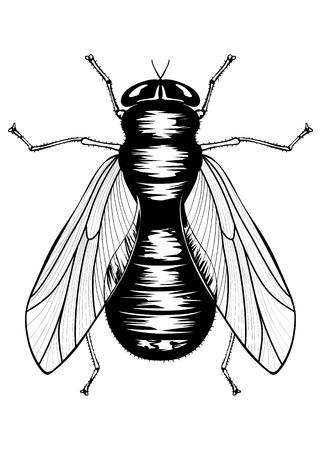hum: Illustration of black fly Illustration