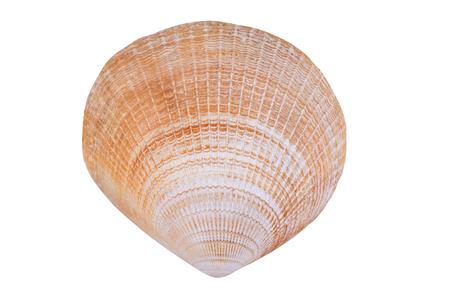 白い背景で隔離のハマグリの貝
