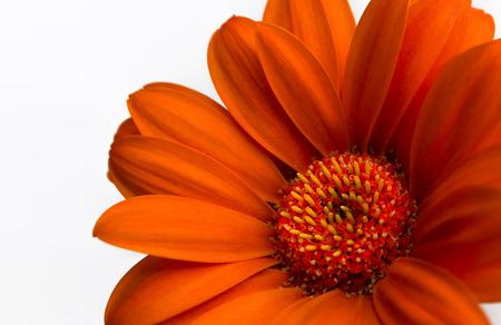barberton daisy: Vibrant orange Gerbera daisy flower on white background Stock Photo