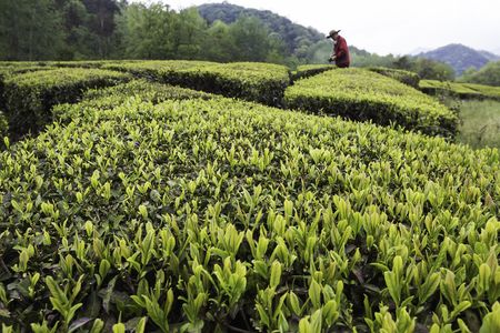 chartreuse: Wall of green tea fields Editorial