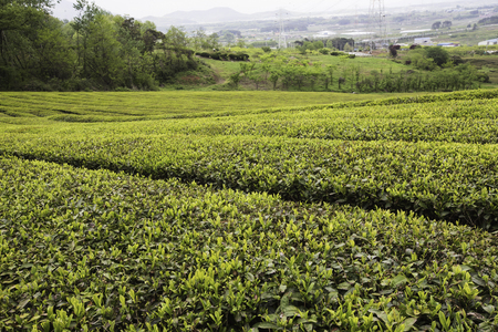 chartreuse: Wall of green tea fields Stock Photo