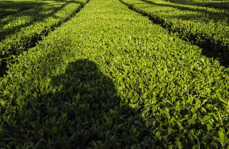 chartreuse: Tea plantation fields in Hunan