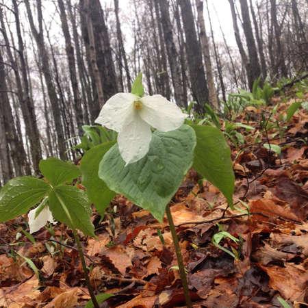 Trillium flower in Northern Michigan