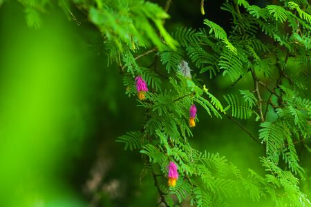 shami prosopis flower closeup image  red flower around the greenery environment. wide view of indian flowers Stock Photo