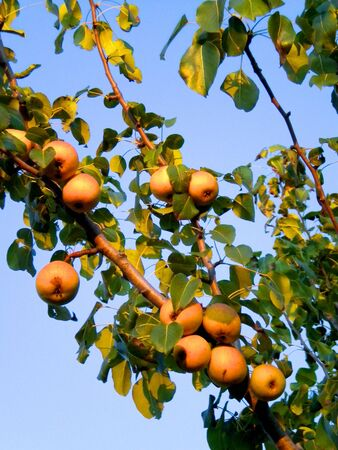cian: pears on a branch of a pear tree, in the warm light of late afternoon
