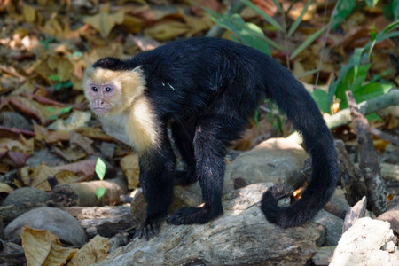 faced: capuchin monkey in the trees