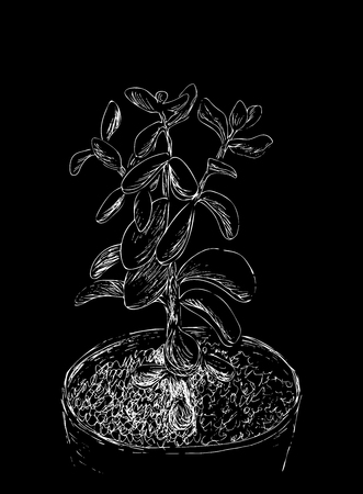 Hand drawn sketch of Succulent. House plant Crassula ovata, jade plant. Vector illustration of Money tree in flower pot isolated on black background. White line drawing. Vintage engraving.