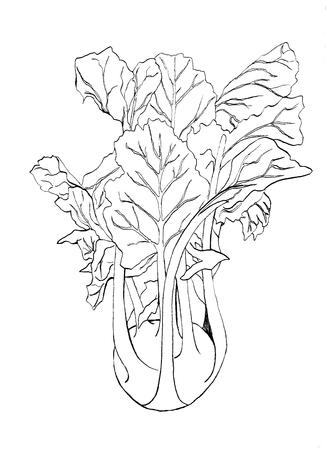 Hand draw black line Kohlrabi cabbage isolated on white background. Vegetable  illustration. Vintage engraving. Fresh organic sketch. Vegetarian and vegan green food ripe harvest. Kitchen design.