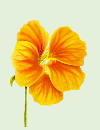 Beautiful nasturtium isolated on light green background. Yellow and orange bright flower. Botanical realistic art. Watercolor painting. Hand drawn detailed illustration. Banco de Imagens