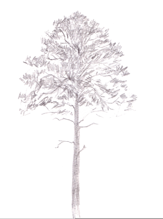 Pine tree. Graphite drawing Isolated on white Background. Hand drawn illustration. Pencil sketch.