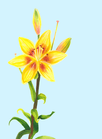 Yellow lily flower. Watercolor painting. Botanical realistic art. Hand drawn floral illustration isolated on light blue background. Beautiful day-lily.