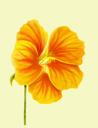 Beautiful nasturtium. Yellow and orange colors. Bright flower. Botanical realistic art. Watercolor painting. Hand drawn detailed illustration. Фото со стока