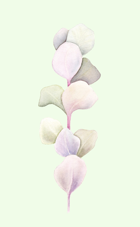 Eucalyptus brunch with leaves isolated on light green background. Watercolor hand painted illustration. Botanical realistic art.