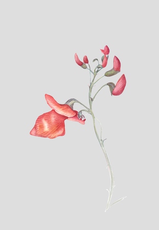 Beautiful flowers of Runner Bean Plant (Phaseolus coccineus). Watercolor illustration isolated on light gray background. Realistic botanical art.