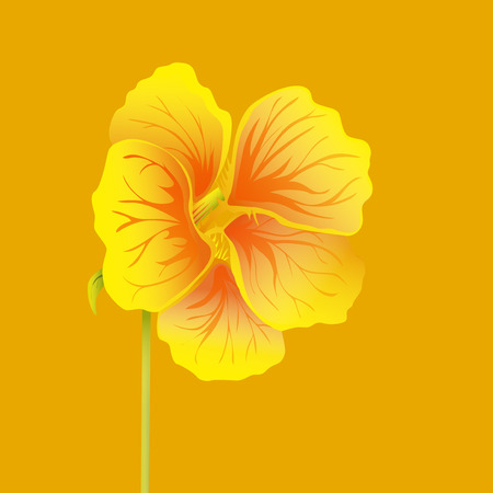 Beautiful nasturtium. Yellow and orange bright flower. Botanical realistic art. Hand drawn detailed vector illustration.