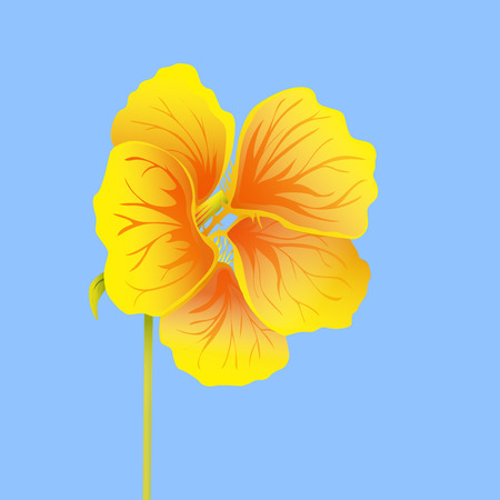 Beautiful nasturtium isolated on blue background. Yellow and orange bright flower. Botanical realistic art. Hand drawn detailed vector illustration.