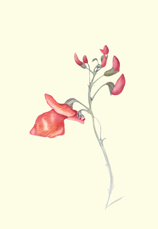 Beautiful flowers of Runner Bean Plant (Phaseolus coccineus). Watercolor illustration isolated on light background. Realistic botanical art.