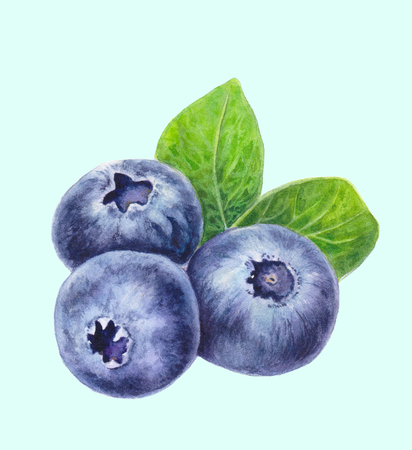 Blueberries with leaves isolated on light background. Hand drawn Blueberry. Watercolor painting of berries. Botanical illustration. Realistic art.
