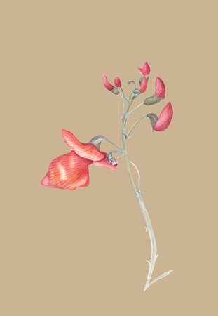 Beautiful flowers of Runner Bean Plant (Phaseolus coccineus). Watercolor illustration isolated on light beige background. Realistic botanical art.