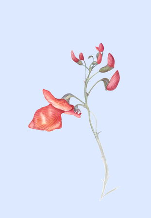Beautiful flowers of Runner Bean Plant (Phaseolus coccineus). Watercolor illustration isolated on light blue background. Realistic botanical art.