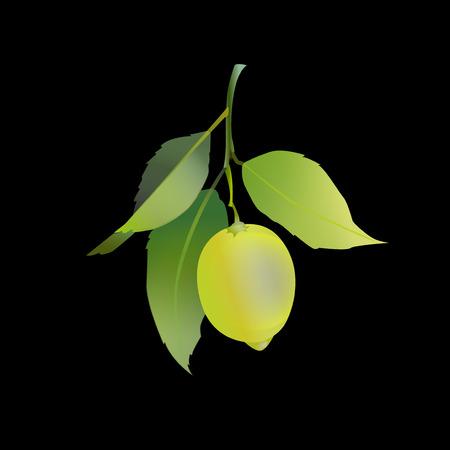 Lemon fruit with leaves isolated on black background. Fresh citrus. Vector illustration. Ilustração