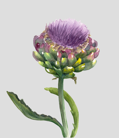 Fresh organic artichoke flower (Cynara scolymus) isolated on light gray background. Watercolor botanical illustration. Eco vegetarian food. Hand painted poster or print. Realistic style.