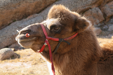 Mongolian Bactrian camel head and face, with red bridle and nose peg