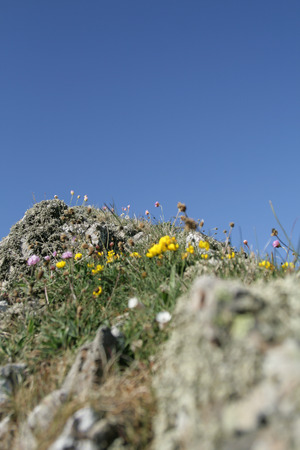 Pink and yellow wildflowers growing on the coastal rocks in Scotland, with blue skies overhead Imagens