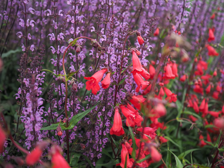 Red fuschia blooms with purple salvia plants behind Stock Photo