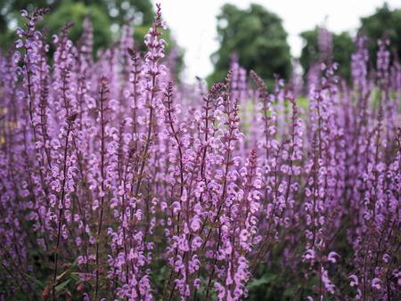 Tall racemes of purple wild flowers, Salvia Serenade cultivar in bloom Archivio Fotografico