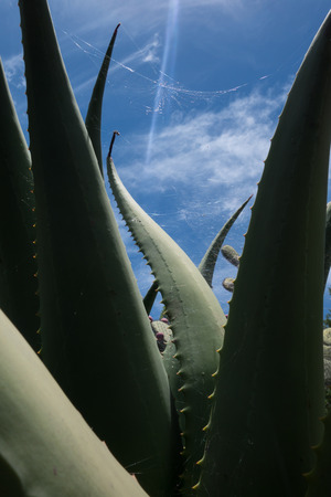 Giant aloe succulent plant with spider webs in the sun 免版税图像