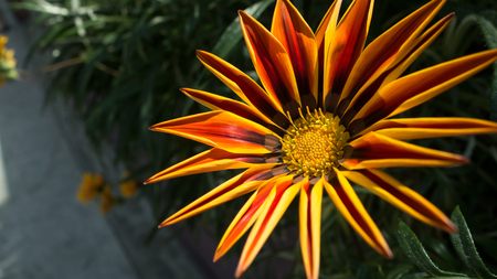 Bright red yellow and orange flower, a gazania in bloom Banque d'images