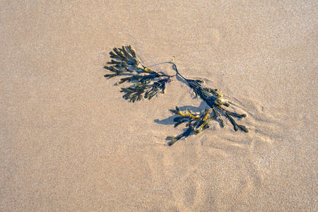 Green bladder wrack seaweed on the beach in the evening